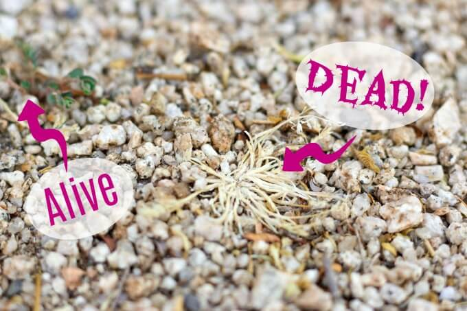 Live and dead weeds in decomposed granite.